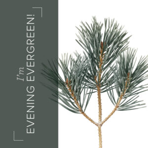 Evening Evergreen an in color from the new catalog