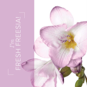 Fresh Freesia an in color from the new catalog